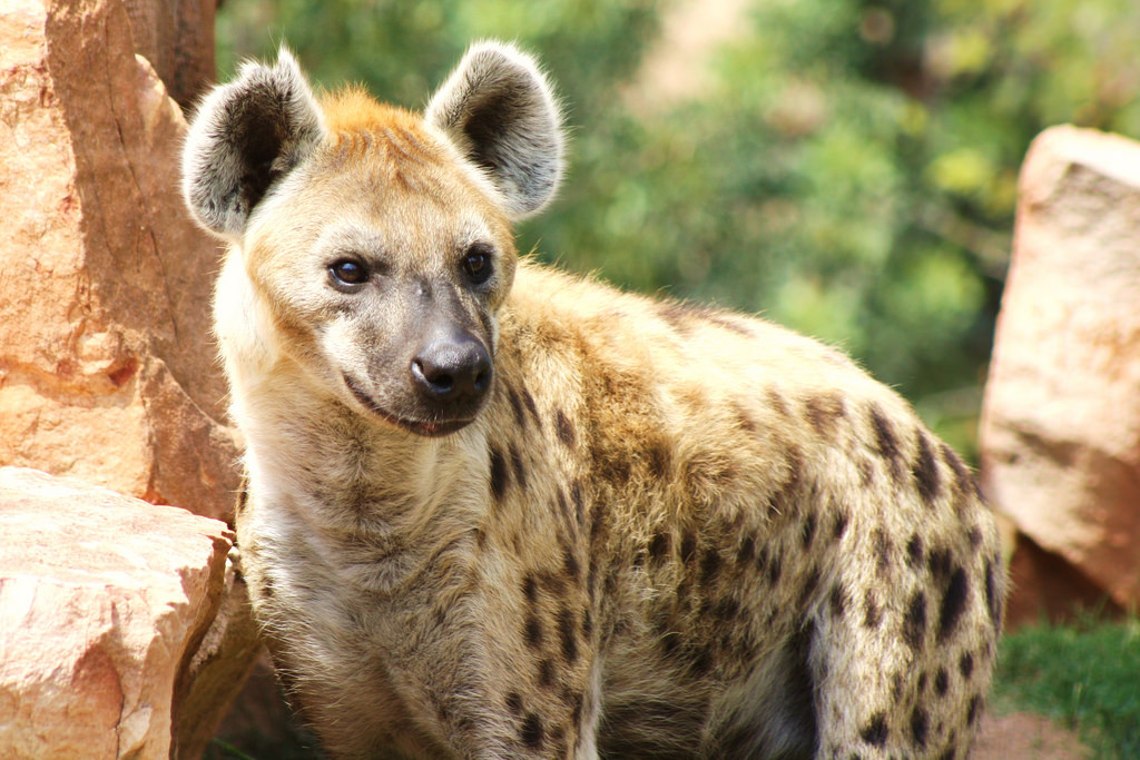 Myth breaking Hyena facts – All Animal Facts