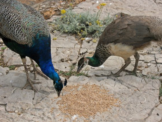 Ten Amazing Facts About Peacocks All Animal Facts