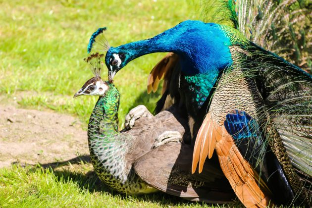 Peahen And Peacock Mating Ten Amazing facts abou...