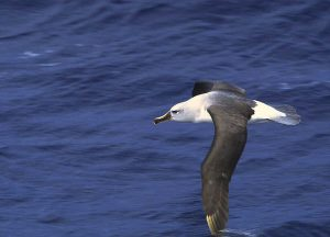 Grey-headed_albatross