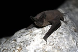 Mexican_free-tailed_bat