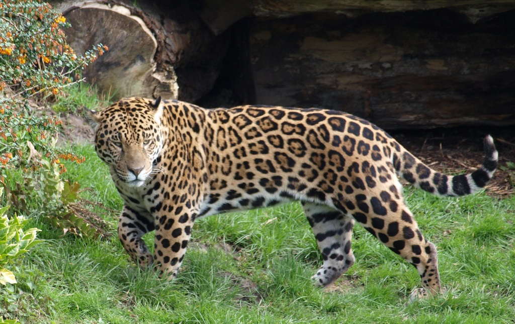 Jaguars Found In The Tropical And Subtropical Forests, They Also Live Near  Rivers And Lakes. Jaguars Also Live In Forests And Grasslands.